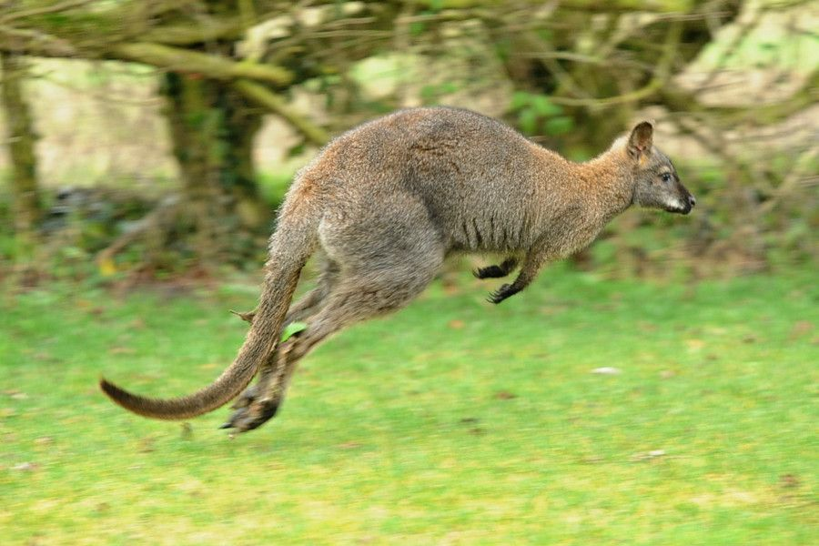 County News Kangaroo Encounter Catches Astonished Motorist On The Hop Sussex Express