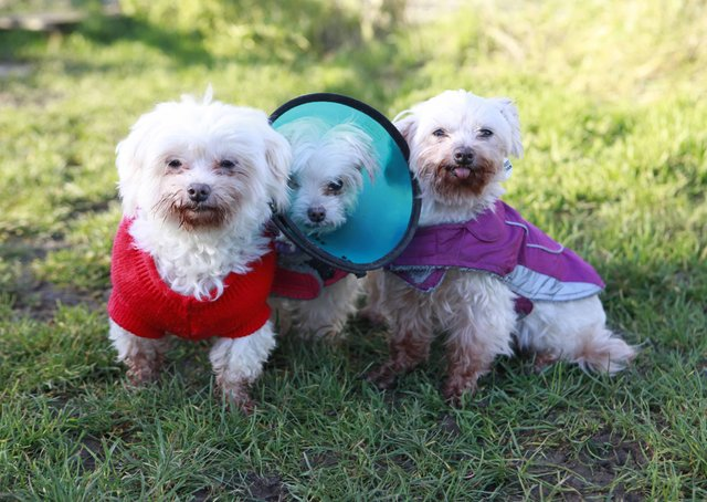 Dogs Trust Shoreham is looking for a retirement home for Maltese trio Bonnie, Sophie and Buffy