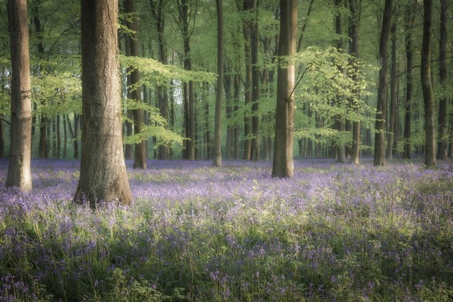Springtime Blues, Jamie Fielding's winning picture, taken in the woods near his home in Angmering