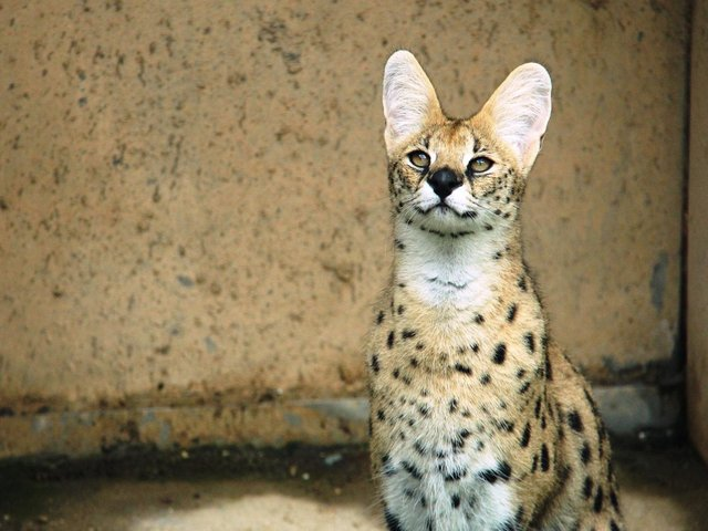 A serval cat is one of the 'pets' being kept in Sussex