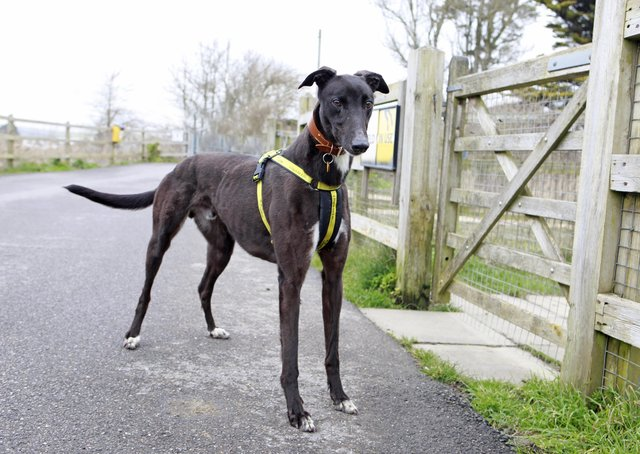 Staff at Dogs Trust Shoreham say George is adorable and although a little timid when you first meet him, he can quickly be won round with a patient and gentle approach