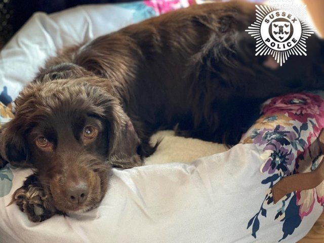 Willow, a two-year-old Cocker Spaniel, was one of ten dogs seized by Sussex Police during a search warrant at a site in Surrey. Photo: Sussex Police