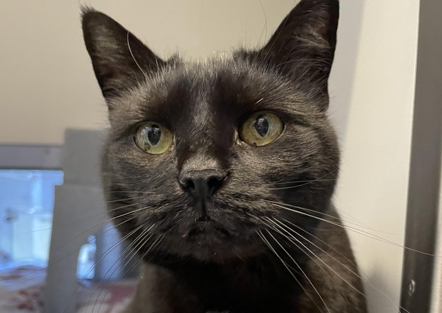 Annabelle, 11, is one of the cats at Cats Protection's National Adoption Centre looking for a home. Picture: Cats Protection