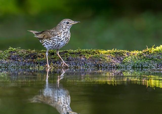Big Farmland Birdcount Song Thrush by Andy Morffew SUS-210704-143435001