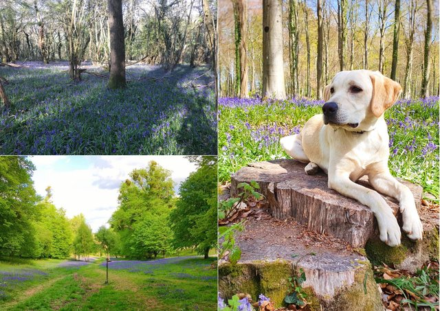 Readers have been sharing their pictures of bluebells across Sussex. Photographs, clockwise from bottom left, by Emma Ford, Claire Louise Singleton and Teresa Williams