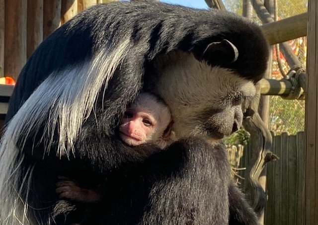 Kylo the colobus monkey was named after Kylo Ren in Star Wars SUS-210405-111001001