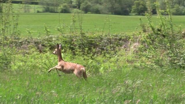 A deer that was released in Uckfield in 2015. SUS-150527-090500001
