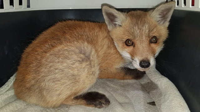 The fox saved by East Sussex WRAS from the A27 in Polegate. SUS-211105-101528001