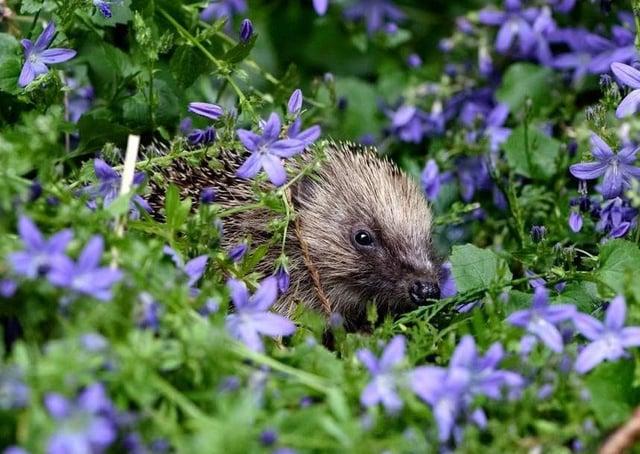 Sussex Garden Mammal Survey hedgehog SUS-210520-104920001
