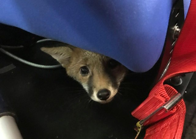The fox was discovered curled up under the seat