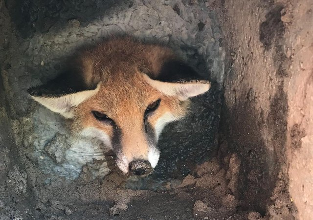Wendy Bradmore and Keith Collins, of Littlehampton, found the stricken cub stuck in what appeared to be a large concrete base in their garden. Picture: RSPCA