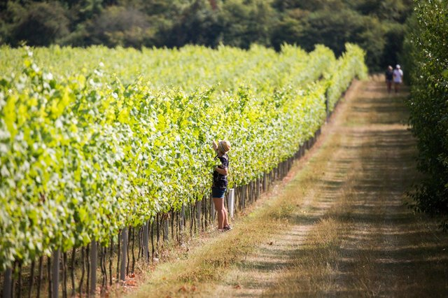 Rathfinny Estate Vineyard in the South Downs National Park Picture: Vivienne Blakey