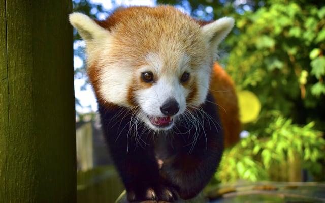 Maja the red panda at Drusillas Park. SUS-210621-151123001