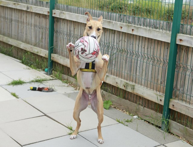 Staff at Dogs Trust Shoreham say this two-year-old has as much energy and stamina as our England squad and they all want to see it 'coming home' for Biggles