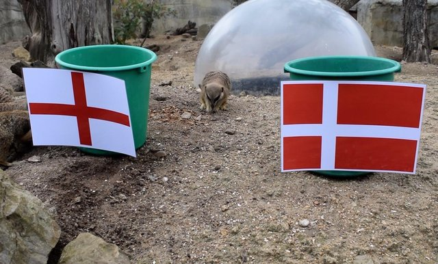 Drusillas Park's meerkats predicted the result of England's upcoming semi-final against Denmark. SUS-210607-115747001