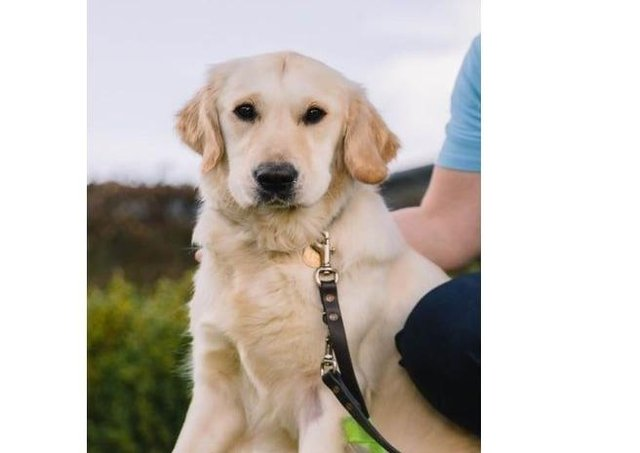 A guide dog puppy. Photo from Guide Dogs for the Blind Association. SUS-211207-143449001
